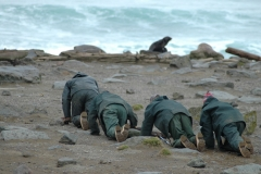 Researchers crawl on their hands and knees to a fur seal rookery on the Pribilof Islands.  Credit: Mary Ann Lea.